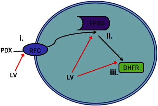 Leucovorin (LV) may abrogate pralatrexate (PDX) activity through three mechanisms. i Competition for reduced folate carrier type 1 (RFC) transport into cell. ii Competition for polyglutamylation, a retention and activity marker, by folylpolyglutamate synthase (FPGS). iii Provides an alternate source of tetrahydrofolate, working around PDX inhibition of dihydrofolate reductase (DHFR)