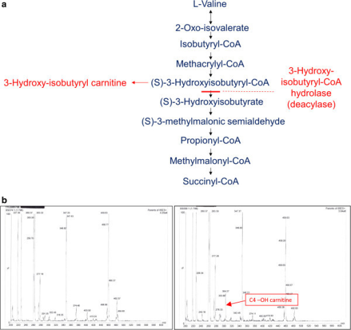 HIBCH deficiency leads to accumulation of hydroxy-C4-carnitine. (a) Valine degradation pathway. 3-Hydroxy-isobutyrylCoA hydrolase (HIBCH) catalyses the fifth step of valine catabolism. HIBCH deficiency leads to accumulation of 3-hydroxy-isobutyryl carnitine, which is detected as hydroxy-C4-carnitine by tandem mass spectrometry. (b) Plasma acylcarnitine analysis by tandem mass spectrometry. Left panel: normal acylcarnitine profile; Right panel: acylcarnitine profile from Patient 2 with accumulating hydroxy-C4-carnitine indicated by arrow.