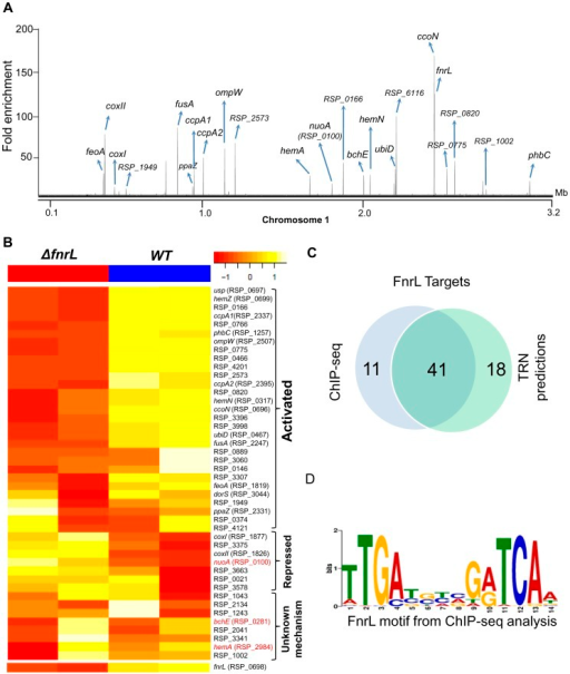 Analysis of the FnrL regulon in R. sphaeroides.(A) A total of 62 FnrL binding sites were identified by ChIP-seq across the R. sphaeroides genome. Binding sites across chromosome 1 are highlighted. MochiView [90] was used for visualization of binding profile. (B) Heat map depicts the differentially expressed FnrL target operons between wild type (WT) and ΔfnrL cells grown on acetate-based media. For brevity only the first members of the target operons are presented. The relative expression of nuoA, bchE and hemA (highlighted in red), which are known to be positively regulated by FnrL, are either not differentially expressed or differentially expressed in the opposite direction. (C) Venn diagram depicting the overlap between our FnrL ChIP-seq analysis and prediction from the large-scale reconstruction of R. sphaeroides transcriptional network. (D) Position weight matrix logo generated for FnrL using targets identified by ChIP-seq.