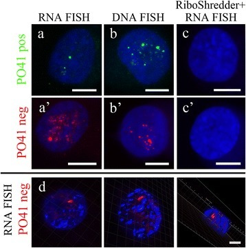 PO41 tandem repeat is transcribed in chicken lymphoblastoid MDCC-MSB1 cells. FISH with PO41pos (green) and PO41neg (red) probes on chicken MDCC-MSB1 cells. (a, a') DNA/RNA hybridization revealed transcripts from both strands of PO41 repeat in interphase nuclei. (b, b') DNA/DNA hybridization (positive control) revealed clusters of PO41 repeat in interphase nuclei. (c, c') RiboShredder RNase cocktail treatment before DNA/RNA hybridization (negative control) removed all hybridization signals. (d) 3D reconstruction of interphase nucleus with isosurfaces around G-rich transcripts of PO41 repeat (red) and chromatin (blue). DNA was counterstained with DAPI. Scale bars: 5 μm (a-c, a'-c'); 3 μm (d).
