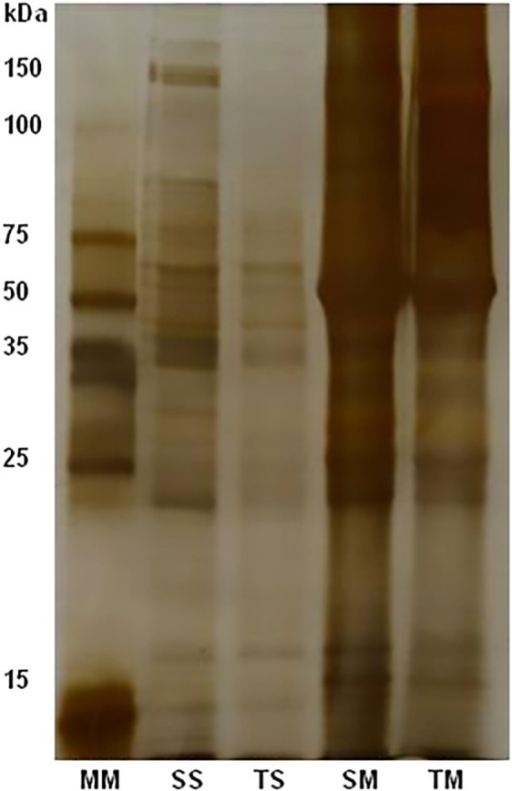 Electrophoretic profiles of antigenic fractions SS, SM and TS, TM, soluble andmembrane fractions from phosphate saline and Tris-HCl, respectively; 12% SDS-PAGEstained by silver nitrate. To each antigenic fraction were used 10 µg/mL.