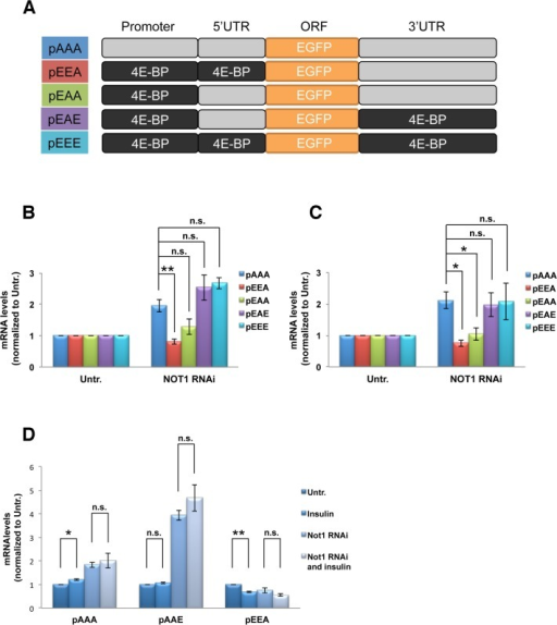 Not1 reduction decreases 4E-BP mRNA through the promoter region of 4E-BP gene.A. Schematic of reporter constructs in which the promoter region, 5'UTR and/or 3'UTR were swapped with the counterpart(s) of 4E-BP gene. (see 3B). B. Changes of the reporter mRNA levels by Not1 depletion. Cells were subjected to Not1 RNAi and transfection with same amounts of reporter constructs. After serum starvation overnight and 30min insulin stimulation, mRNA levels of reporter constructs were measured by qPCR and normalized to untreated (no RNAi/insulin). Data are represented by Means ± SEM from three independent experiments. (see 3B). C. Changes of the reporter mRNA levels by Not1 depletion in the absence of insulin stimulation. The experiment was performed as in B except the absence of insulin addition. D. Combined effect of insulin stimulation and Not1 depletion on the reporter mRNA levels. The mRNA levels of the indicated constructs were normalized to untreated (no RNAi/insulin).