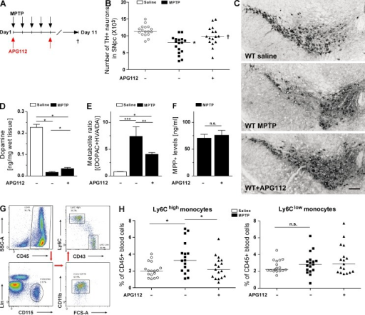 Pharmacological neutralization of CD95L protects mice against MPTP toxicity and alters peripheral immune response. (A) Scheme of MPTP and APG112 treatment. (B) Quantification of total TH+ DNs in the SNpc at day 6 after last administration of saline or MPTP of control or APG112-treated mice. ANOVA followed by Newman–Keuls post-hoc test: control versus MPTP: *, P < 0.001; MPTP versus MPTP + APG112: †, P < 0.01. (C) Representative images of TH+ neurons in SNpc of control and APG112-treated mice. Bar, 100 µm. (D) Quantification of striatal DA levels using HPLC at day 6 after last administration of saline or MPTP to control or APG112-treated mice. (E) Calculation of the metabolite ratio [(DOPAC + HVA/DA) × 100] after quantification of striatal DA metabolite levels by HPLC. (D and E) Data are presented as mean ± SEM; n = 8. ANOVA on ranks, Student–Newman–Keuls multiple comparison: *, P < 0.05; **, P < 0.01; ***, P < 0.001. (F) HPLC measurement of striatal MPP+ levels in WT and WT + APG112 mice at 90 min after MPTP injection. Data are presented as mean ± SEM; n = 3. Student's t test: n.s., not significant. (G) Representative dot plots of blood monocytes and gating scheme of flow cytometry. (H) Quantification of blood monocyte subsets by FACS at day 6 after last administration of saline or MPTP of control or APG112-treated mice. ANOVA followed by Newman–Keuls post-hoc test: *, P < 0.05. (B and H) Data are presented as dot plot with median and were pooled from two independent experiments; n = 16–17.