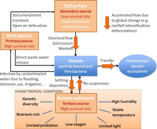 Conceptual diagram of the primary, secondary, and tertiary sources of FIB in humid tropical environments. Humans and livestock are the primary sources of FIB and are responsible for the direct contamination of soils and water. The secondary reservoir is comprised of cultivated land and inhabited rural areas that have been contaminated by the primary sources. The tertiary source is comprised of stream bed sediments and hyporheic zones that offer conditions that are more similar to the host intestinal tract: low or no light due to the density of riparian vegetation, lower oxygen conditions, reduced predation by protozoans, and higher organic matter and nutrient concentrations.