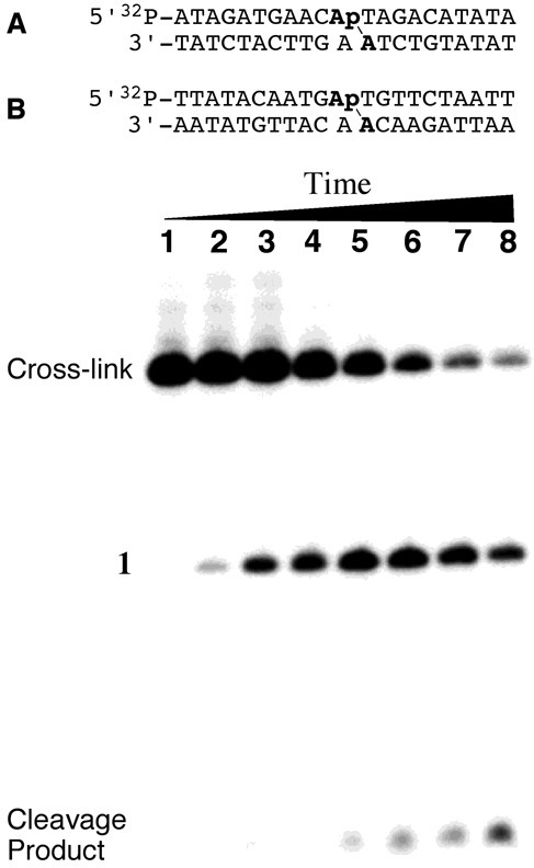 Above: cross-linked oligonucleotide duplexes used for enzymatic digestion and LC-MS/MS analysis and stability studies (duplexes used in mass spectrometric studies did not contain the 32P label). Location of the dA-Ap cross-links is indicated with the line (\). Below: dissociation of the purified cross-link in duplex A incubated in 50 mM HEPES (pH 7.0) and 100 mM NaCl at 37°C for 0, 0.25, 1, 2, 5, 10, 15 and 21 days (lanes 1–8). Following incubation for the specified time, DNA in the samples was ethanol precipitated, washed and stored at –20°C until analysis by 20% denaturing gel electrophoresis. The amount of remaining cross-link at each time point was quantitatively measured by phosphorimager analysis.