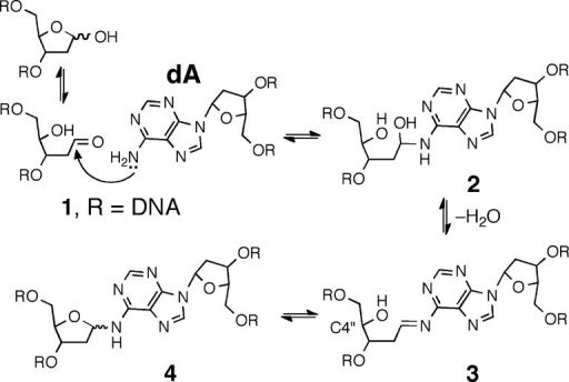 Proposed formation mechanism and structure of the dA-Ap cross-link in duplex DNA.