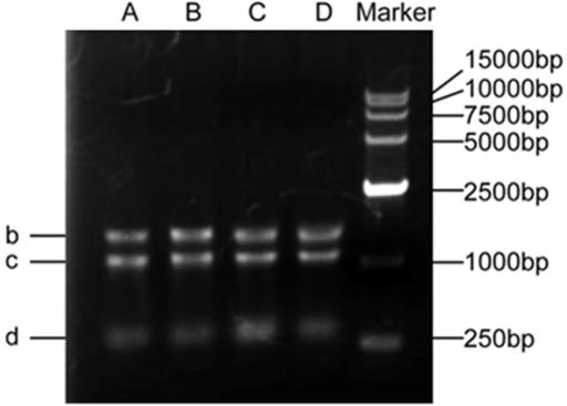 Example of agarose gel electrophoresis of total RNA isolated.Visualization of three intact RNA bands for 28 S RNA (b), 18 S RNA (c) and 5 S RNA (d). Lanes A and B contain 1 μg of total RNA from Chinese fir leaves, and Lanes C and D contain 1 μg of total RNA from Chinese fir roots.