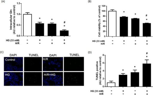 Effect of hyperglycemia (HG) and hypoxia/reperfusion (H/R) on intracellular Gln, cell viability, and apoptosis.H9C2 cells were treated with HG (33 mM), H/R, or HG + HR. (A) Intracellular Gln level in each group. (B) Cell viability of each group was established using an MTT assay. (C) HG and H/R-induced cell apoptosis was examined by DAPI staining and TUNEL assay. Blue spots represent cell nuclei and green spots represent apoptotic bodies. (D) Bars represent the percentage of TUNEL-positive cells based on the total number of cells stained by DAPI. The results are expressed as mean ± S.D. of 3 independent experiments. * p < 0.05 compare with the control group; # p < 0.05 compare with the HG and H/R group; a.u. = arbitrary units.