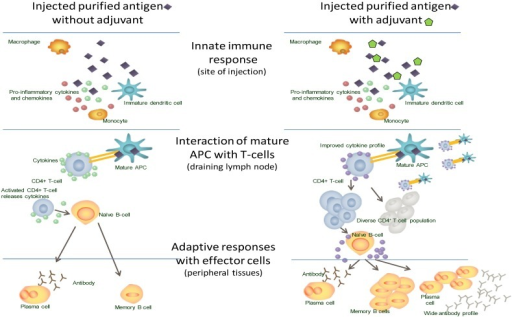 The immune response to vaccination with and without adjuvant.
