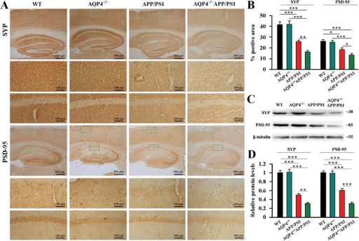 AQP4 deficiency exacerbated decreases in SYP and PSD-95 in 12-month-old APP/PS1 mice. a SYP and PSD-95 expression was markedly decreased in the hippocampus and cerebral cortex of AQP4−/−APP/PS1 mice, compared to APP/PS1 mice. b The percentage of SYP/PSD-95 positive area in the hippocampus and cortex. c Representative bands of Western bolt and d densitometry analysis of SYP and PSD-95 protein levels in the hippocampus and cortex. Data represent mean ± SEM from 5 to 6 mice (3–4 female, and 1–2 male) per group. The statistical analysis was performed by ANOVA with post hoc Student-Newman-Keuls test. *P < 0.05; **P < 0.01; ***P < 0.001
