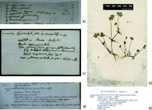 "Hydrocotyle ranunculinus in list, specimen, and card: a) Details from Carl Linnaeus, ""Mutis,"" 1773, p. 3, Library of the Linnean Society. The species Hydrocotyle ranunculinus is listed as numbers 65 and 66; Linnaeus confuses the name, and links the two entries by a line, indicating that they belong to the same species. By permission of the Linnean Society of London. b) Specimen of Hydrocotyle ranunculinus, LINN 332.15, Linnean Herbarium, Linnean Society. The number 65 is noted close to the root. By permission of the Linnean Society of London. c) Slip for Hydrocotyle ranunculinus. Carl Linnaeus, ""Botanical Paper Slips,"" Library of the Linnean Society. Note the number 65 next to Mutis's name. By permission of the Linnean Society of London. d) Entry for Hydrocotyle ranunculinus in Linnaeus the Younger, ""Supplementum plantarum,"" Library of the Linnean Society. The text was copied out verbatim by an amanuensis from the corresponding paper slip. By permission of the Linnean Society of London. e) Hydrocotyle ranunculoides in Carl Linnaeus the Younger, Supplementum plantarum, Braunschweig, 1781, p. 177. By permission of the Linnean Society of London."