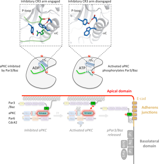 Proposed Model for Par3/Baz Antagonism and PolarizationWe propose two states for PKC-Par3/Baz interaction driven by aPKC kinase domain and Par3/Baz CR3 region. A high-affinity interaction is inhibitory and requires both arms flanking the PKC consensus motif of the CR3 region. By engaging pockets within both the N and C lobes of aPKC kinase domain, Par3/Baz phosphorylation is prevented but Par6-aPKC is recruited to the apical membrane. In an activated state, aPKC is resistant to CR3 antagonism due either to an inaccessible αC helix pocket or a CR3 interaction being destabilized by phosphorylation of T833Par3 or by aPKC lacking a PDK1-driven T412PKCι phosphorylation. Either of these possibilities could result in Par3/Baz binding as a substrate exposing its PKC consensus site R-X-S-Ψ to phospho-transfer. Phosphorylated Par3/Baz is then excluded from the Par complex and thus from the apical membrane domain, and relocalizes to AJs.