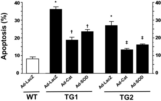 Percentage of apoptosis by strain. *P<0.05 against wild type treated with Ad‐LacZ. †P<0.05 between treated TG1 mice and TG1 treated with Ad‐LacZ. ‡P<0.05 between treated TG2 mice and TG2 treated with Ad‐LacZ. Cat indicates catalase; SOD, superoxide dismutase; TG, transgenic; WT, wild type.