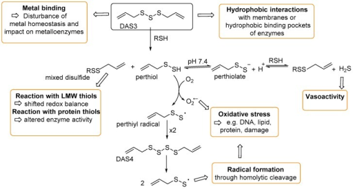Using DAS3 as an example, possible intracellular reaction pathways of DAPS and their physiological consequences. All reactions described above are possible for DAS3–DAS6, whereas DAS2 is limited to thiol/disulfide reactions with glutathione and protein thiols to form mixed disulfides.
