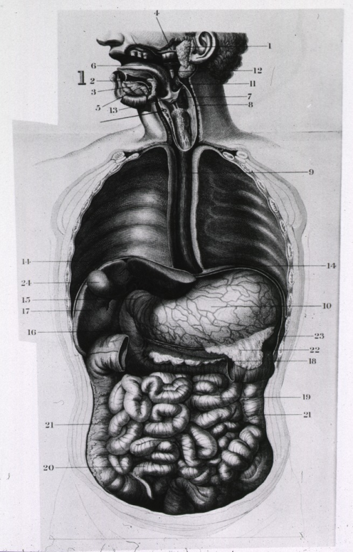 <p>General views of the digestive tract.</p>