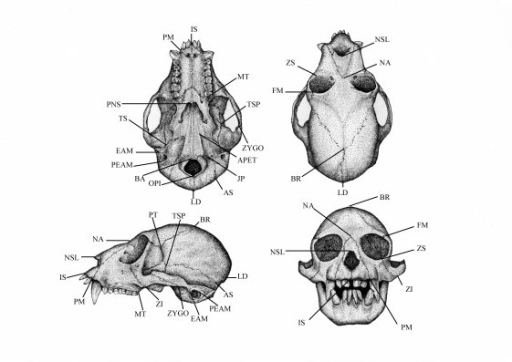 New World Monkey skull with landmarks. Craniofacial landmarks recorded from Cebinae skulls using three-dimensional digitizer. See Tables 9 and 10 for landmarks and measurements details.