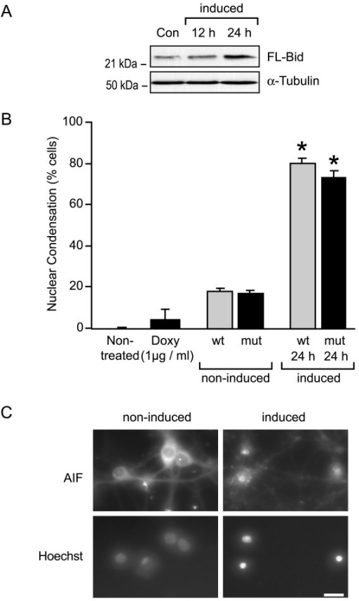 FL-Bid or a Bid mutant that can not be cleaved by caspase-8 potently induces cell death in cultured rat hippocampal neurons. (A)Western blot analysis of Bid overexpression in cultured rat hippocampal neurons. Cells were co-infected with the wild-type (wt) FL-Bid adenovirus and the rtTA containing virus. Expression of Bid was induced by 1 μg/ml doxycycline treatment for 12 or 24 h. Control cells were infected but not induced. (B)Quantification of cells showing nuclear condensation in response to an overexpression of wt FL-Bid or the Bid(D59A) mutant (mt). Cells were co-infected with the wt or mt FL-Bid adenovirus and the rtTA containing virus. After 48 h, expression of Bid was induced by the addition of 1 μM doxycycline for 12 or 24 h. Cells exhibiting nuclear condensation or nuclear fragmentation were counted in 4 – 5 randomly chosen subfields after staining with the chromatin-specific dye Hoechst 33528. Data are means ± SEM from n = 3 experiments. (C)AIF immunofluorescence analysis in non-induced and induced hippocampal neurons. Cells were co-infected with the wt FL-Bid adenovirus and the rtTA containing virus and induced for 12 h. Note the mitochondrial AIF immunofluorescence in non-induced cells sparing the nuclear region, and AIF translocation to the nucleus in the induced neuron cultures. Bar = 10 μm.