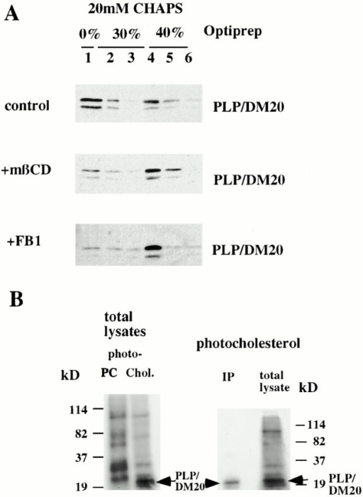 Cholesterol interacts with PLP/DM20 and both cholesterol and sphingolipids are required for integrity of CIMF. (A) Oligodendrocytes were incubated for 30 min with 5 mM mβCD, for 5 d with 50 μM fumonisin B1 (+FB1), or left untreated, before extraction with 20 mM CHAPS and centrifuged in a density gradient. PLP/DM20 was visualized by Western blotting. (B) Oligodendrocytes were grown in the presence of 3H-photocholesterol or 10-azisteric acid and [3H]-choline (PC), as indicated. Cells were UV irradiated for cholesterol and PC cross-linking and were prepared as described in the legend to Fig. 4 A. Cell lysates were either directly applied to SDS-PAGE (5–20%) or first immunoprecipitated (IP) with anti-PLP antibody. Labeled proteins were visualized by fluorography. Note that photoaffinity labeling reveals binding of PLP/DM20 to photocholesterol, but not to PC.