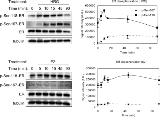 Estrogen receptor phosphorylation induced by HRG and E2.Phosphorylation levels of estrogen receptor alpha at Ser-118 and Ser-167 treated with HRG (10 nM) or E2 (10 nM) were measured at the designated time period. Three-independent western blots were performed for each ligand. Representative figures are shown on the left. Levels of phosphorylation were quantified using a densitometer and are shown graphically on the right.