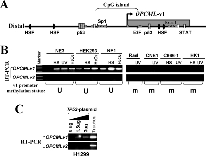 The OPCML-v1 promoter is stress- and p53-responsive.(A) Locations of transcription factors (HSF, p53, Sp1, E2F, STAT) binding sites in the promoter are indicated. (B) Up-regulation of OPCML-v1 in response to stress treatments is disrupted in tumor cell lines with a methylated promoter. Normal (NE3, HEK293, NE1) and tumor cell lines (Rael, CNE1, C666-1, HK1) were exposed to 42°C heat shock (HS), UV irradiation, or H2O2 treatments. OPCML-v1 promoter methylation status in each cell line is shown at the bottom. M, methylated; U, unmethylated. (C) H1299 cells were transfected with different amounts of pcDNA3.1+/TP53 (gift from Dr. Bert Vogelstein) [27]. Expression of OPCML-v1 and v2 was analyzed by semi-quantitative RT-PCR. p53 induced a dosage-dependent upregulation of OPCML-v1.