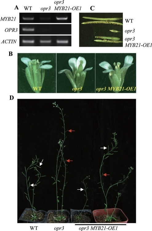 Overexpression of MYB21 Rescues the Stamen Filament Growth and Fertility to the opr3 Mutant.(A) RT-PCR analysis of MYB21 and OPR3 gene expression in WT, opr3 and opr3 MYB21OE-1. Total RNA was extracted from the young flower buds. ACTIN was used as the normalization control. (B) Comparison of the flowers at stage 14 in different genotypes. The flower in opr3 MYB21OE-1 shows elongated filament than that in opr3. (C and D) Comparison of seed set in different genotypes as shown (C) and of plant growth of WT (Col-0) (50 days old), opr3 (50 days old) and opr3 MYB21OE-1. The third plant from left was an opr3 MYB21OE-1 plant with primary shoot (50 days old) whereas the last plant was a 60-day-old opr3 MYB21OE-1 with axillary shoots after its primary influence has been removed earlier. White arrows highlight siliques with seed set, red arrows highlight sterile siliques.