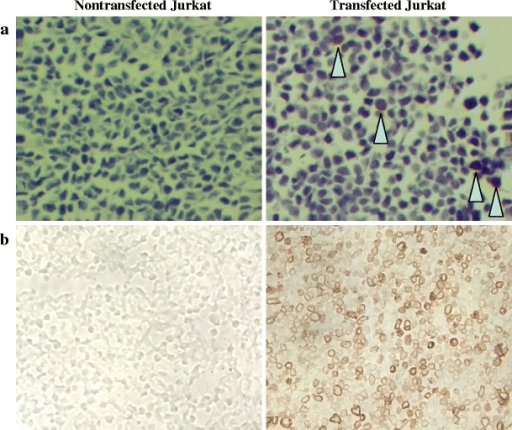 Immunohistochemical staining of N-A3/CEA expression in tumors (×20 magnification). a Paraffin-embedded sections of nontransfected and TR(1–99)-NA3 transfected Jurkat tumors stained with cT84.66 anti-CEA antibody. b Frozen sections of nontransfected and NA3-CD5 transfected Jurkat tumors stained with anti-CEA scFv-Fc H310A antibody fragment.