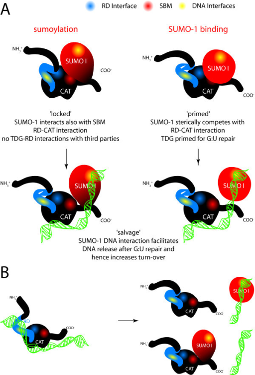 "A schematic representation of the main results obtained. (A) SUMO-1 covalent conjugation to K330 leads to a change in the C-terminal conformation of TDG. SUMO-1 thereby also interacts with SBM2. TDG-RD is not displaced from the TDG-CAT domain and hence can rest in its ""closed"" conformation. Sumoylation thereby influences third party interactions with the RD and therefore ""locks"" the RD. The presence of free SUMO-1, just as covalent SUMO-1 addition to ""open"" TDG conformers, increases especially G:U turnover rates (""primed""). Note that also SUMO-modified proteins might be recruited to TDG via SBM2 and have similar effects on TDG's turnover rate. SUMO, when bound via SBM2, sterically competes with TDG-RD for the TDG-CAT surface. The TDG-RD hence adopts a partially ""open"" conformation which leads to increased G:U repair activity. Also, when SUMO is bound to the SBM2 site, the C-terminus of TDG adopts a conformation similar to the one in the sumoylated protein. The enzymatic turnover especially on G:U mismatches is enhanced through the DNA interaction of either SBM2 recruited or covalently attached SUMO-1. Note that the effect in the case of transient SBM2 interaction is likely due to a local concentration effect as it does not require prolonged SBM2 binding by SUMO. (B) SUMO-1 conjugation or binding to the SBM2 might also occur post-repair once TDG has been trapped on its abasic G:- product to salvage TDG activity by overcoming product inhibition. In the case of non-covalently bound SUMO-1 alternatively a third protein carrying the SUMO-1 group might bring SUMO-1 sufficiently close to TDG for the 'salvage' effect."