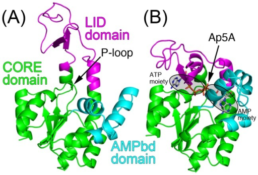 Crystal structures of E. coli AK.(A) Open conformation without ligand (PDBid: 4ake). The position of P-loop is indicated. (b) Closed conformation with Ap5A represented by sticks (PDBid: 1ake). The ATP and AMP moieties are encircled. Three relatively rigid domains, designated CORE, AMPbd, and LID, are colored by green, cyan, and magenta, respectively.