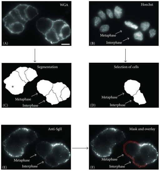 Quantification and comparison of the intensity of SgII surface staining of interphase and metaphase cells. PC12 cells were stained with WGA (A), Hoechst (B) and by immunocytochemistry for surface-associated SgII (E). Images displaying the WGA stain were used for segmentation (C). Asterisk in (C) indicates cell borders that are not detected. The Hoechst stain was used for the identification of metaphase and interphase cells (B). A mask was constructed for the quantification of the surface-associated SgII signal (red double-line in (F)) delineating the PM of PC12 cells located at the outside of the cell cluster. For more details please see Materials and Methods. Scale bar, 10 μm.
