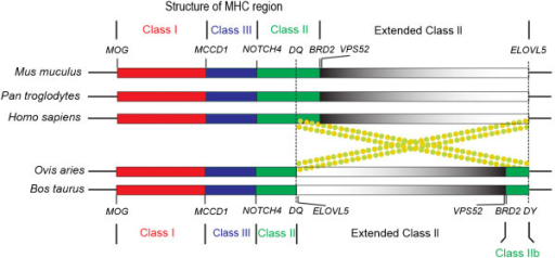 Schematic presentation of MHC structures among representative mammal species. Bovine and ovine MHC is interrupted by a long piece of non-MHC insertion that divided class II into IIa and IIb subregions. The red, blue, and green color stands for MHC Class I, Class III, and Class II, respectively. The grey color gradient represents the extended Class II region. The order of loci in the extended Class II region of bovine and ovine is in an opposite orientation compared to that of human, chimpanzees, and mouse. Dash line marks the break point of a hypothetical chromosome inversion. Dashed circles indicate the hypothetical chromosome looping and the subsequent crossover occurred during the evolution of ruminants. The drawing is not to the scale.