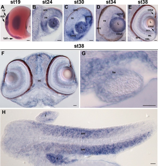 Expression pattern of hccs in medaka In situ hybridization analysis of hccsA.hccs expression in whole embryos at st19. Scale bar: 100 µm.B–E. Frontal sections of embryos at st24, st30, st34 and st38 showing a strong hccs expression in the different structures of the developing eye.F, G. Frontal sections of embryos at st38 showing the expression of hccs in the central nervous system and in the heart, respectively.H. Sagittal section of embryos at st38 showing a strong hccs expression in the skeletal muscles. Scale bars: 20 µm. ov, optic vesicle; mb, midbrain; re, retina; L, lens; cmz, ciliary marginal zone; GCL, ganglion cell layer; INL, inner nuclear layer; ONL, outer nuclear layer; RPE, retinal pigmented epithelium; ot, optic tectum; oc, optic chiasm; he, heart, sm, skeletal muscles; f, fin.