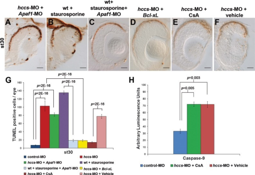 hccs downregulation induces apoptosome-independent caspase-9 activation in mitochondriaA–C. TUNEL assays on st30 embryos co-injected with hccs-MO and Apaf1-MO (A), wt embryos exposed to staurosporine (B) and embryos injected with Apaf1-MO exposed to staurosporine (C) (n = 100/each treatment). Apaf1 down-regulation was able to protect the embryos from cell death induced by staurosporine, but not from the increased cell death due to hccs knockdown.D–F. TUNEL assays on st30 embryos co-injected with hccs-MO and Bcl-xL mRNA (D) and embryos injected with hccs-MO treated with CsA (E) or vehicle alone (F). Note that Bcl-xL overexpression and CsA treatment block cell death. Scale bars: 20 µm.G. Number of TUNEL positive cells/eye (n ≥ 5 embryos/stage; Error bars are SEM; p-values were calculated by ANOVA).H. Caspase-9 activation in morphant embryos treated with CsA or vehicle alone. Histograms show the relative levels of emitted signals displayed in arbitrary units of luminescence. Values represent means of three samples. Each sample represents a group of 20 embryos (error bars are SEM; p-values were calculated by ANOVA).