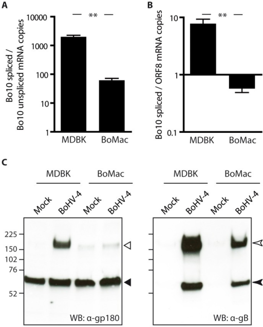 BoMac myeloid cells express relatively less gp180 glycoprotein in comparison with epithelial cells.A–B. MDBK and BoMac cells were infected with the BoHV-4 V.test strain at a MOI of 1. Twenty-four hours p.i., relative expressions of Bo10 spliced vs unspliced transcripts (A) and of Bo10 spliced vs ORF8 transcripts (B) were estimated as described in the Methods. The data presented are the average ± SEMs for 3 measurements and were analyzed by Student's t-test, ** p<0.01. C. Detection of the gp180, encoded by the Bo10 spliced transcript, and gB glycoproteins in bovine epithelial and myeloid cells. MDBK and BoMac cells were infected with the BoHV-4 V.test strain at a MOI of 1. Twenty-four hours p.i., these cells were subjected to western blotting with anti-Bo10-c15 serum (recognizing gp180) and mAb 35 (recognizing gB) as described in the Methods. On the gp180 blot, open and filled triangles indicate respectively the specific 180 kDa protein and a background band. On the gB blot, open and filled arrow heads indicate uncleaved gB and furin-cleaved gB C-terminus respectively. The position of a molecular mass (MM) standard (in kDa) is shown on the left.