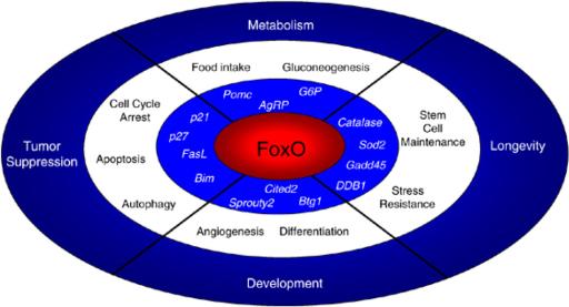 Výsledok vyhľadávania obrázkov pre dopyt foxo genes family