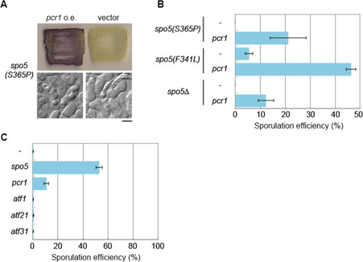 pcr1+ mRNA is one of the critical targets of Spo5. (A) The sporulation of the spo5(S365P) strain was detected by dark brown staining with iodine vapor when pcr1+ was overexpressed. Stained patches and DIC images of the cells are shown. Scale bar, 5 μm. (B) Sporulation defects of other spo5 mutants were also suppressed by the overexpression of pcr1+. Meiosis and sporulation were induced in cells harboring pPEP1 (vector) or pPEP3-pcr1+, and the sporulation efficiency was calculated (n > 500). Error bars indicate standard deviation. (C) Meiosis was induced in spo5∆ cells harboring plasmids containing spo5+, pcr1+, atf1+, atf21+, and atf31+, or the empty vector on SSA at 30°C for 3 days, and sporulation efficiency was calculated (n > 500). Error bars indicate standard deviation.