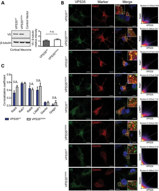 Normal steady-state levels and vesicular localization of VPS35D620N in cortical neurons. (A) Western blot analysis of soluble extracts from primary cortical neurons infected with lentiviral vectors expressing V5-tagged human VPS35 (WT or D620N) or control virus with anti-V5 or β-tubulin antibodies. Densitometric analysis of human VPS35 normalized to β-tubulin levels indicates the equivalent expression of WT and D620N variants (mean ± SEM, n = 4 experiments). n.s., non-significant by unpaired, two-tailed Student's t-test. (B) Representative confocal microscopic images of primary cortical neurons co-labeled for WT or D620N human VPS35 (V5) and RFP-Rab5, GFP-Rab7, RFP-LAMP1 or trans-Golgi protein Giantin, and DAPI. Inset indicates enlarged boxed area in merged images. Cytofluorograms and correlation coefficients (Rcoloc, mean ± SEM, n ≥ 5 neurons) indicate the degree of co-localization of fluorescence signals for V5 and each marker. Scale bars: 10 μm. (C) Graph showing co-localization coefficients (mean ± SEM, n ≥ 5 neurons/group) of WT or D620N VPS35 with each vesicular marker in cortical neurons. n.s., non-significant by unpaired, two-tailed Student's t-test as indicated.