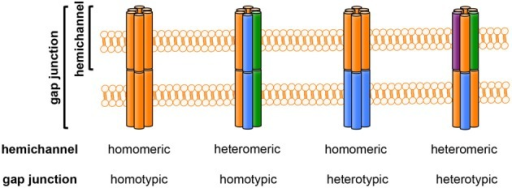 The composition of gap junctions and hemichannels. Each colored column (orange, blue, green, or purple) represents a different connexin isoform. Hemichannels may be homomeric (composed of one connexin isoform) or heteromeric (composed of more than one connexin isoform). Gap-junction channels may be homotypic (formed by identical hemichannels) or heterotypic (formed by different hemichannels).