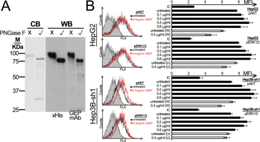 Purity and signaling transduction of rGEP. (A) Purified rGEP was either untreated or deglycosylated by PNGase F and was analyzed in SDS–PAGE. Left panel shows the visualization of Coomassie blue staining (CB), where PNGase F was found at ~30kDa. The middle and right panels show the western blot (WB) analysis after detection of anti-His antibody and GEP mAb, respectively. One microgram of rGEP was used for each lane in Coomassie blue staining, whereas 10ng was used for western blot. (B) HepG2 and the GEP-suppressed Hep3B-sh1 were FBS-starved for 48h and were incubated with rGEP for 5min, followed by trypsin-EDTA detachment, formaldehyde fixation and 70% methanol permeabilization. Specific antibodies against pAKT and pERK1/2 were used for detection. If inhibitors were involved, 100nM wortmannin (W) or 10 µM U0126 (U) was added to the cells 1h in prior to the assay and was withdrawn before rGEP incubation. Representative histograms with isotypic controls (filled area), untreated samples (black line) and cells treated with 0.4 µg/ml rGEP (red line) are shown. The geometric mean fluorescent intensity (MFI) of each sample is shown in the graph. In parallel with rGEP, EGF was used as a positive control for the activation of signaling pathways (data not shown). Asterisks represent significant differences from the control without adding rGEP at 95% level according to Student's t-test.