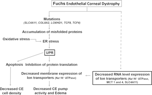 Summary of the mechanisms possibly contributing to the clinical symptoms associated with FECD. Evidence of mutations and oxidative stress support the induction of UPR in FECD, which could cause decreased CE cell density and pump function followed by corneal edema. The clinical indications could also occur as a result of compromised pump function caused by the decreased RNA level expression of ion transporters demonstrated in this study, whose mechanism is not known.