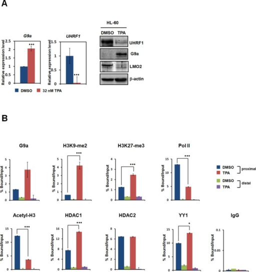 UHRF1 is downregulated by G9a during leukemia cell differentiation. (A) HL-60 cells were treated with TPA or DMSO. After 48 h, real-time PCR was performed to compare the expression levels of UHRF1. All results represent at least three independent experiments (±SDs). *** P < 0.001. Cells were lysed and immunoblotted with anti-G9a, anti-LMO2, and anti-UHRF1 antibodies. β-actin was used as a loading control. (B) ChIP analyses of the UHRF1 promoter in TPA-treated HL-60 cells were conducted using anti-G9a, anti-H3K9-me2, anti-H3K27-me3, anti-Pol II, anti-Acetyl-H3, anti-HDAC1, anti-HDAC2, anti-YY1, and anti-IgG and were examined via real-time PCR analysis. All results represent at least three independent experiments (± SD). * P <0.05, *** P <0.001.