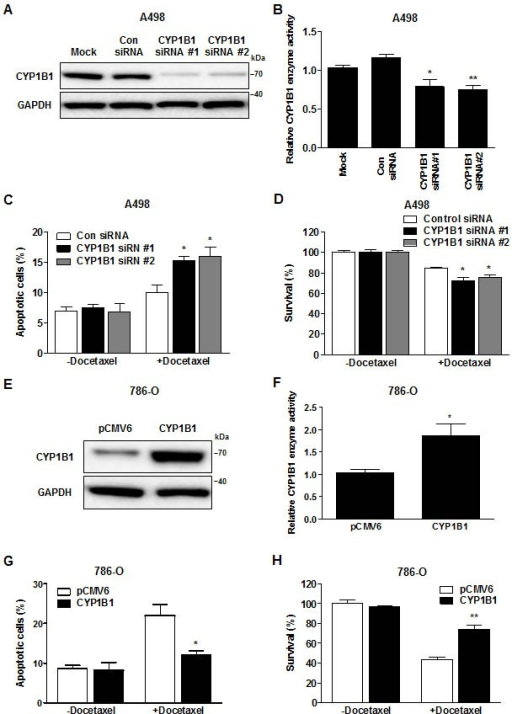 Change in CYP1B1 expression alters docetaxel resistance of RCC cells(A and B) After siRNA transfection, CYP1B1 protein expression was determined by Western blot (A) and enzyme activity was measured with P450-Glo assay (B) in A498 cells. *P < 0.05; **P < 0.01 (C and D) After CYP1B1 siRNA transfection, A498 cells were treated with docetaxel (5 μM) for 72 hrs. Apoptotic cell death was measured with annexin V-FITC/7-AAD staining (C) and cell survival was analyzed by MTS assay (D). *P < 0.05 (E and F) After plasmid transfection, CYP1B1 protein expression was determined by Western blot (E) and enzyme activity was measured with P450-Glo assay (F) in 786-O cells. *P < 0.05 (G and H) After CYP1B1 plasmid transfection, 786-O cells were treated with docetaxel (5 μM) for 72 hrs. Apoptotic cell death was measured with annexin V-FITC/7-AAD staining (G) and cell survival was analyzed by MTS assay (H). *P < 0.05; **P < 0.01.