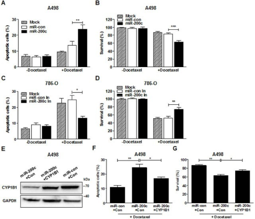 MiR-200c regulates docetaxel resistance of RCC cells(A and B) After miR-200c precursor transfection, A498 cells were treated with docetaxel (5 μM) for 72 hrs. Apoptotic cell death was measured with annexin V-FITC/7-AAD staining (A) and cell survival was analyzed by MTS assay (B). **P < 0.01; ***P < 0.001 (C and D) After miR-200c inhibitor transfection, 786-O cells were treated with docetaxel (5 μM) for 72 hrs. Apoptotic cell death was measured with annexin V-FITC/7-AAD staining (C) and cell survival was analyzed by MTS assay (D). *P < 0.05; **P < 0.01 (E-G) After transfection of miR-200c precursor with either control or CYP1B1 plasmid, A498 cells were treated with docetaxel (5 μM) for 72 hrs. CYP1B1 protein expression was determined by Western blot (E), apoptotic cell death was measured with annexin V-FITC/7-AAD staining (F) and cell survival was analyzed by MTS assay (G). *P < 0.05; **P < 0.01.