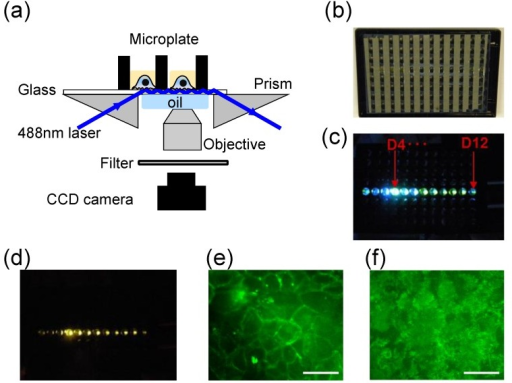 Microplate-compatible TIRF imaging system. (a) Instrument setup. A 488 nm laser light is directed to illuminate the glass substrate after it has been guided through a right angle prism. Under TIR condition the evanescent wave excited fluorescence is collected using an objective lens, passed through a filter and focused via a tube lens onto a CCD camera; (b) The back image of a glass bottom microplate to show the geometry of alumina stripes; (c) The excitation light propagates within the glass substrate after it illuminates the well D4; (d) Whole plate TIRF observed within multi-wells by placing a filter above the CCD camera; (e) Epi-fluorescence image of HEK-β2AR-GFP cells; (f) TIRF image of the cells. Scale bar in (e,f) is 40 µm. This figure was reproduced with permission from [25].