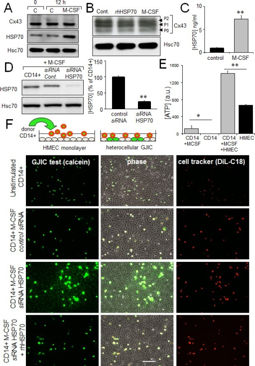 The HSP70 release by monocytes alters their coupling with HMECA. M-CSF (100 nM) increases HSP70 expression in monocytes (representative of 5 experiments; Hsc70 as loading control). B. Cx43 expression in monocytes is not affected by 12h-treatment with M-CSF or rhHSP70 (representative of 3 experiments). C. M-CSF induced HSP70 release. Amounts of HSP70 measured by ELISA in supernatant of monocytes untreated (control) or treated with 100 nM M-CSF for 12 h (mean ± SD; n=4; **P-values <0.01). D. siRNA HSP70 knockdown. Cultured monocytes were transfected with HSP70 or control siRNA 48h prior to various analysis. Left, western blot analysis of protein extracts from cells treated with M-CSF for 12 h. Right, histogram shows HSP70 release by transfected monocytes in response to 100 nM M-CSF for 12 h (mean ± S.D., n=4; representative of 4 experiments). E. The ATP release by HMEC/monocyte cocultures is mainly due to HMEC (bioluminescence assay; means ± S.D. n=3; **P-values<0.01, *P-values<0.05 vs control). F. Functional GJIC between monocytes and HMEC. Monocytes (donors) were preloaded with calcein/AM and DiL-C18. Calcein diffuses through gap junctions, while DiL-C18 does not. Labelled monocytes are then plated with unlabeled HMEC monolayer (receivers). HMEC establishing GJIC with monocytes become fluorescent by calcein diffusion. Only siRNA HSP70-transfected monocytes establish GJIC with HMEC and exogenously added rhHSP70 (5μg/ml) improved it. Phase-contrast microphotographs after 3 h of culture (representative of 6 experiments; Bar 100 μm).