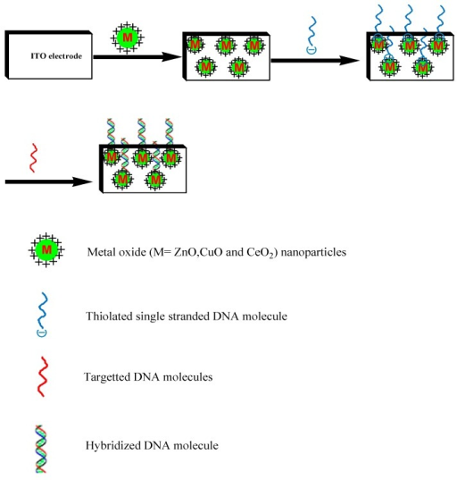 Schematic presentation of immobilization of thiolated single-stranded probe DNA on the surface of ZnO for hybridization detection in double-stranded DNA (target DNA).
