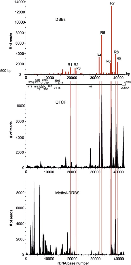 Comparison of CTCF binding and DNA methylation profiles with the observed pattern of hot spots of DSBs inside rDNA. At the top, the position of nine hot spots of DSBs obtained from Illumina reads is presented. Thin red lines show the position of nine hot spots of DSBs inside the IGS. The raw data on CTCF binding and on DNA methylation in HEK293 cells were used for the mapping inside the rDNA unit (Accession numbers wgEncodeEH000396 and GSE27584, respectively). UCE/CP: upstream promoter element and core promoter.