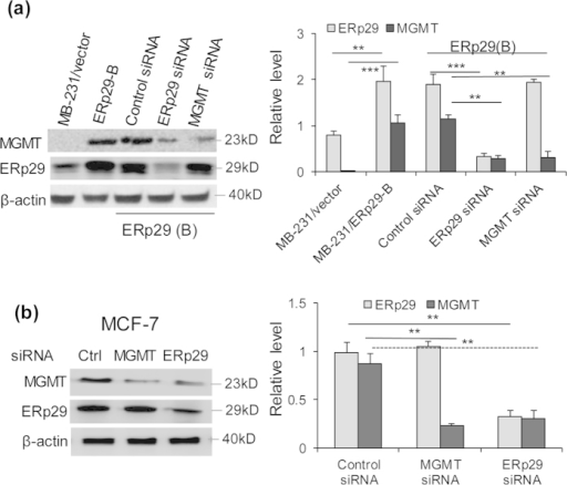 MGMT is a downstream target of ERp29.ERp29-transfected cells (cone B) (a) or MCF7 cells (b) were treated with ERp29 siRNA (#1) or MGMT siRNA (#3) or control siRNA and the expression of ERp29 and MGMT was analysed. ERp29 knockdown decreased the expression of MGMT whereas MGMT knockdown was unable to decrease the level of ERp29 in both clone B cells (a) and MCF-7 cells (b). **p < 0.01, ***p < 0.001, relative to control.