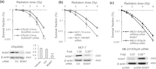 MGMT mediates ERp29-induced post-irradiation survival rate. and facilitates DNA damage in ERp29-transfected MDA-MB-231 cells.(a) Repression of MGMT by siRNA (#3) reduced the ERp29-enhanced post-irradiation survival rate. Cells were treated with control or MGMT siRNA (#3) for 48 hours and then exposed to irradiation at the indicated doses. Expression of MGMT was efficiently repressed by siRNA in the ERp29-overexpressed clone B cells. (b) Depletion of endogenous MGMT by siRNA in MCF-7 cells sensitized to radiation treatment. MCF-7 cells were treated with control or MGMT siRNA (#3) for 48 hours and then exposed to irradiation at the indicated doses. The expression of MGMT in MCF-7 cells was efficiently reduced by siRNA. (c) Re-expression of MGMT in the MB-231/ERp29 siRNA cells restores radioresistance. Cells were transfected with pcDNA-MGMT or pcDNA for 24 hours and exposed to radiation treatment. MGMT expressed was examined by immunoblot. Post-radiation survival rate was assessed by clonogenic assay as described in Fig. 1
