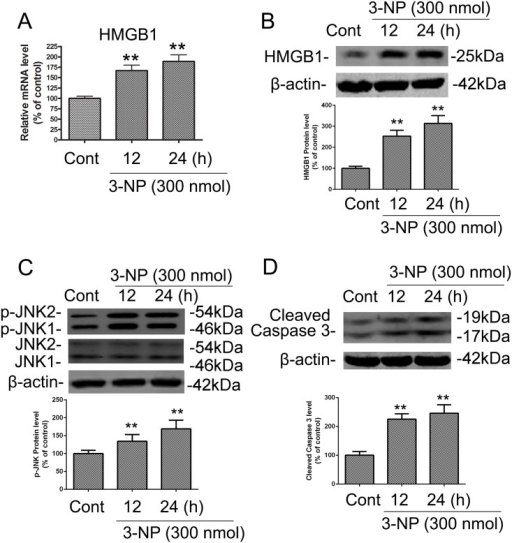 3-NP induced increases in the mRNA and protein levels of HMGB1 and in the protein levels of p-JNK and caspase-3 in rat striatum in vivo.The time-course of 3-NP–induced changes in HMGB1 expression, JNK phosphorylation, and caspase-3 cleavage was determined by isolating striatal tissue from rats that were killed 12 or 24 h after intrastriatal infusion of 3-NP (300 nmol) or vehicle control (CONT; isotonic saline solution, 1 μL). Striatal tissues were dissected for preparation of striatal extracts for immunoblotting. (A-B) 3-NP induced upregulation of the mRNA and protein levels of HMGB1. (C-D) 3-NP induced alterations in the levels of JNK phosphorylation and cleaved caspase-3. Densities of protein bands were analyzed with an image analyzer (Sigma Scan Pro 5) and normalized to the loading control (β-actin). Bars represent mean ± SE; n = 4 animals per group. Groups were compared by ANOVA followed by Dunnet's post hoc test before data conversion. All panels, **p <0.01 vs control.