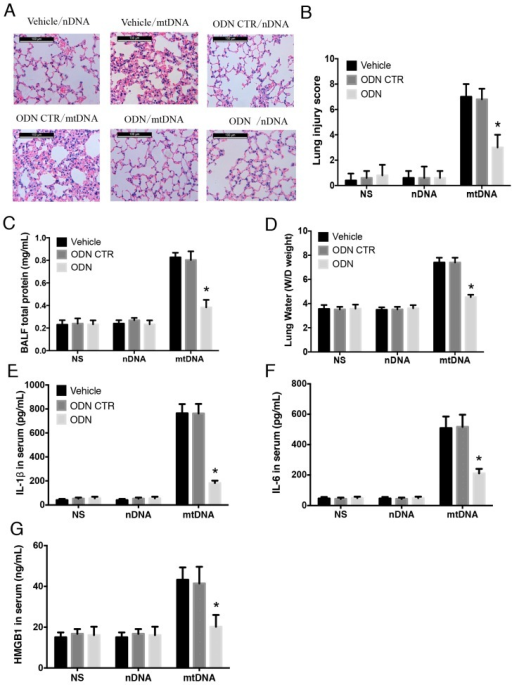 Intra-peritoneal administration of mtDNA induces acute lung injury and systemic inflammation in a TLR9-dependent manner. WT mice were randomly assigned to a group pretreated with the TLR9 specific inhibitor ODN2088 or a control group. Mice in the ODN2088 were pretreated 1 h before mtDNA administration (n = 16/group, 8 for BALF only). Acute lung injury was measured by HE staining (scale bar is 100 μm) (A) for lung injury score (B); BALF total protein concentration (C); and lung W/D ratio (D) were also analyzed. Systemic inflammation and circulating levels of IL-1β (E); IL-6 (F); and HMGB1 (G) were measured by ELISA. * p < 0.05 versus control group. Eight mice were used in each set and data are mean ± SEM of three separate experiments.
